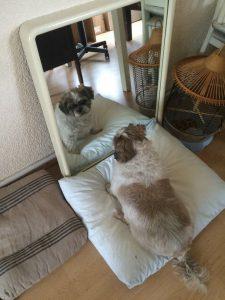 honden-die-een-baasje-zoeken-zowy-kruising-shih-tzu-maltezer (3)