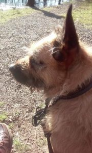 max-kruising-mechelse-herder-bouvier-zoekt-thuis-ndjoy-brabant-hulp-honden-baasjes