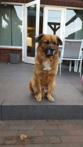 boef2-baasje-gezocht-ndjoy-hulp-aan-honden-baasjes-brabant