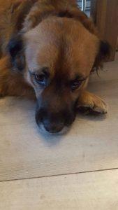 boef3-baasje-gezocht-ndjoy-hulp-aan-honden-baasjes-brabant