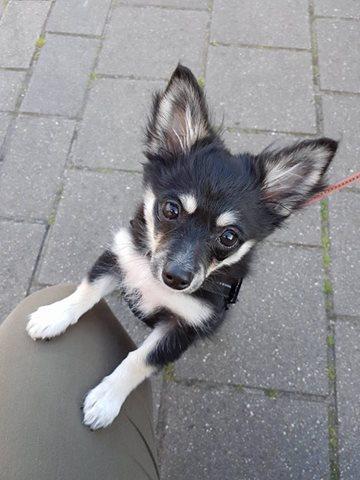 pomchi-pup-zoekt-een-thuis-ndjoy-brabant