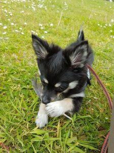 pomchi-pup-zoekt-een-thuis-ndjoy-brabant1