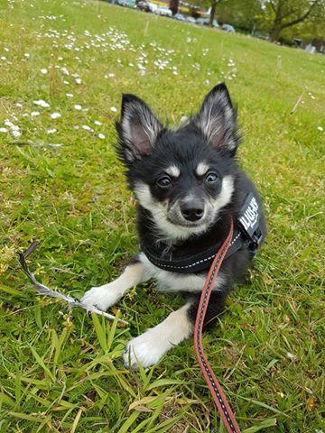 pomchi-pup-zoekt-een-thuis-ndjoy-brabant4
