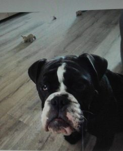 bandit-old-english-bulldog-ndjoy-hulp-honden-baasjes-herplaatsing3