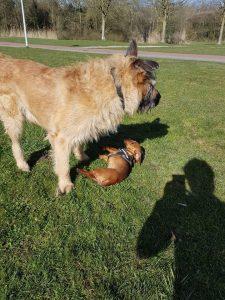 max-klein-vriendje-hond-ndjoy-herplaatsing-honden-brabant