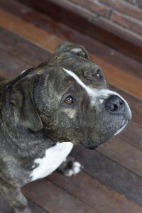 bigmac-herplaatsing-honden-amerikaanse-bully-ndjoy-hulp-baasjes-thuis-gezocht-voor-american-bullies