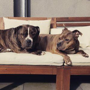 truus-bigmac-herplaatsing-honden-amerikaanse-bully-ndjoy-hulp-baasjes-thuis-gezocht-voor-american-bullies