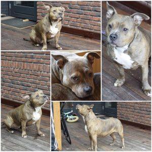 truus-herplaatsing-honden-amerikaanse-bully-ndjoy-hulp-baasjes-thuis-gezocht-voor-american-bullies