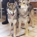 foto-lezing-wolfhonden-ndjoy11