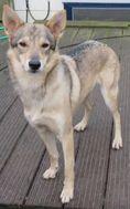 lezing-wolfhonden-in-samenwerking-met-kynolanguage-ndjoy-hulp-honden-baasjes (2)