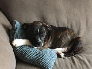 bowie-succesvolle-herplaatsing-ndjoy-hulp-honden-baasjes5