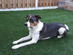 denzo-kruising-appenzeller-ndjoy-herplaatsing-hond