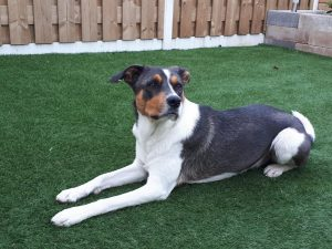 denzo-kruising-appenzeller-ndjoy-herplaatsing-hond10