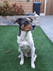 denzo-kruising-appenzeller-ndjoy-herplaatsing-hond2
