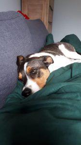 denzo-kruising-appenzeller-ndjoy-herplaatsing-hond4