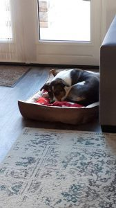 denzo-kruising-appenzeller-ndjoy-herplaatsing-hond8