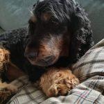 tapi-dia-herplaatsing-cocker-spaniels-ndjoy-hulp-honden-baasjes14
