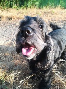 tapi-dia-herplaatsing-cocker-spaniels-ndjoy-hulp-honden-baasjes15