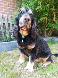 tapi-dia-herplaatsing-cocker-spaniels-ndjoy-hulp-honden-baasjes18