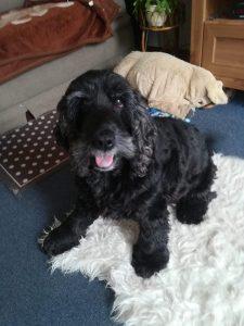 tapi-dia-herplaatsing-cocker-spaniels-ndjoy-hulp-honden-baasjes19