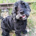 tapi-dia-herplaatsing-cocker-spaniels-ndjoy-hulp-honden-baasjes3