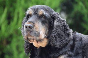 tapi-dia-herplaatsing-cocker-spaniels-ndjoy-hulp-honden-baasjes4