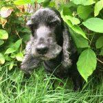 tapi-dia-herplaatsing-cocker-spaniels-ndjoy-hulp-honden-baasjes5