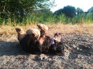 tapi-dia-herplaatsing-cocker-spaniels-ndjoy-hulp-honden-baasjes8