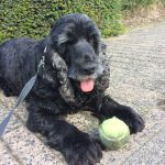 tapi-dia-herplaatsing-cocker-spaniels-ndjoy-hulp-honden-baasjes9