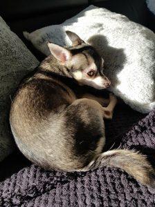 sarah-herplaatsing-chihuahua-ndjoy-hulp-honden-baasjes