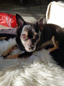 terror-herplaatsing-chihuahua-ndjoy-hulp-honden-baasjes