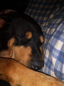 diva-x-rottweiler-tijdelijke-opvang-gezocht-ndjoy-hulp-honden-baasjes (1)