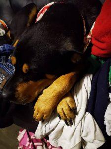 diva-x-rottweiler-tijdelijke-opvang-gezocht-ndjoy-hulp-honden-baasjes (5)