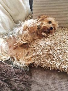 binky-herplaatsing-yorkshire-terrier-hond-ndjoy-hulp-honden-baasjes (2)
