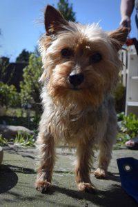 binky-herplaatsing-yorkshire-terrier-hond-ndjoy-hulp-honden-baasjes (3)