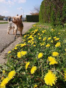 binky-herplaatsing-yorkshire-terrier-hond-ndjoy-hulp-honden-baasjes (5)