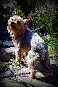 binky-herplaatsing-yorkshire-terrier-hond-ndjoy-hulp-honden-baasjes (6)