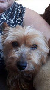 binky-herplaatsing-yorkshire-terrier-hond-ndjoy-hulp-honden-baasjes (7)