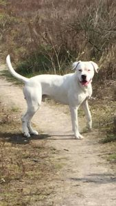 diablo-herplaatsing-dogo-argentino-ndjoy-hulp-honden-baasjes2