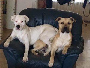 diablo-herplaatsing-dogo-argentino-ndjoy-hulp-honden-baasjes3