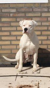 diablo-herplaatsing-dogo-argentino-ndjoy-hulp-honden-baasjes4