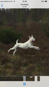 diablo-herplaatsing-dogo-argentino-ndjoy-hulp-honden-baasjes5