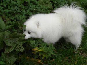 kobus-herplaatsing-hond-japanse-spits-ndjoy-hulp-honden-baasjes (2)