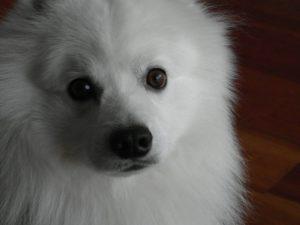 kobus-herplaatsing-hond-japanse-spits-ndjoy-hulp-honden-baasjes (3)