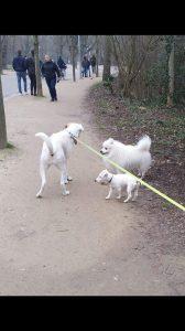 kobus-herplaatsing-hond-japanse-spits-ndjoy-hulp-honden-baasjes (4)