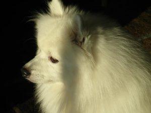 kobus-herplaatsing-hond-japanse-spits-ndjoy-hulp-honden-baasjes (5)