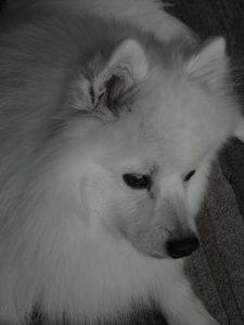 kobus-herplaatsing-hond-japanse-spits-ndjoy-hulp-honden-baasjes (6)