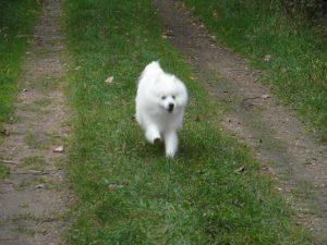 kobus-herplaatsing-hond-japanse-spits-ndjoy-hulp-honden-baasjes (7)