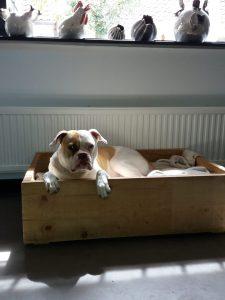 shelby-amerikaanse-bulldog-foto4-herplaatsing-hond-honden-ndjoy-boxmeer