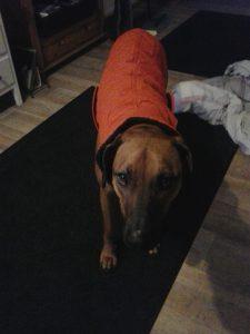 sam-rhodesian-ridgeback-herplaatsing-hond-ndjoy-hulp-honden-3